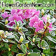 Hardi azalee decolorate, azalee Hardy Evergreen, Hardy Rhododendron, Azalee Hardy, Rhododendroni placați cu fier, Rhododendroni Ironclad, Ironclads