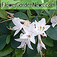 Rhododendron 'Fragrant Star', 'Fragrant Star' Rhododendron, 'Fragrant Star' Azalea, Midseason Azalea, Deciduous Azalea, Fragrant Rhododendron, White Azalea, White Rhododendron, White Flowering Struik