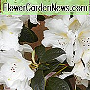 Rhododendron 'Fragrantissimum', 'Fragrantissimum' Rhododendron, Early Midseason Rhododendron, Fragrant Rhododendron, White Rhododendron, White Flowering Chrub