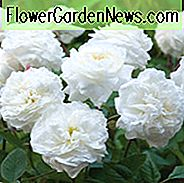 Rose Susan Williams-Ellis, Rosa Susan Williams-Ellis, Engelsk Rose Susan Williams-Ellis, David Austin Roser, Engelske Roser, Engelsk Rose, Busk Roser, Rose Bushes, Have Roser, Hvide Roser