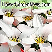 Tulipa Clusiana 'Lady Jane', Tulip 'Lady Jane', Lady Tulip 'Lady Jane', Merrion Tulip 'Lady Jane', Botanical Tulips, Tulip Species, Rock Garden Tulips, Wild Tulips, Candle Stick Tulips, Mid spring tulip, bicolored tulip