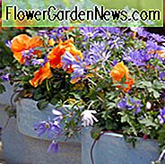 Anemone Blanda, Grecian Windflower, Wood Anemone, Spring Bulbs, Spring Flowers, Anemone Blanda White Splendor, Anemone Blanda Blue shades, Bulbs Design, Spring Bulbs, Fall Bulbs, Landscaping Design, Garden Ideas,