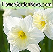 Narcissus Ice Follies, Daffodil 'Ice Follies', Large-Cupped Daffodil 'Ice Follies', Large-Cupped Narcissen, Spring Bulbs, Spring Flowers, Narcisse Ice Follies, Narcisse grande couronne, Narcisse grande couronne, narcis in het vroege voorjaar, narcis in het midden van de lente