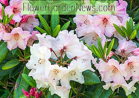 Beautiful Azaleas og Rhododendrons for New England